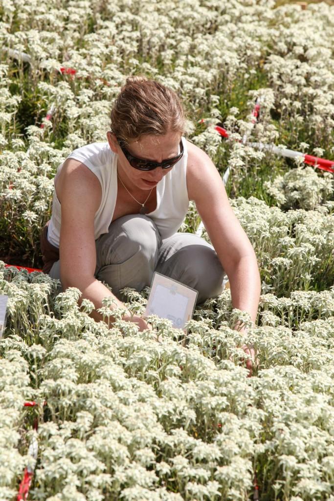 107.126 Blüten verhalfen dem Edelweiß-Blütenmeer der Sennhütte in St. Anton am Arlberg zum Weltrekord. Bildnachweis: Sennhütte (Abdruck honorarfrei)