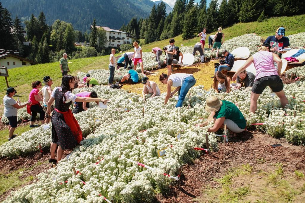 40 unabhängige Zähler ermittelten in stundenlanger Arbeit die 107.126 Blüten des Edelweiß-Arrangements der Sennhütte. Bildnachweis: Sennhütte (Abdruck honorarfrei)